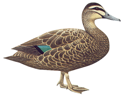 Pacific Black Duck 53cm
