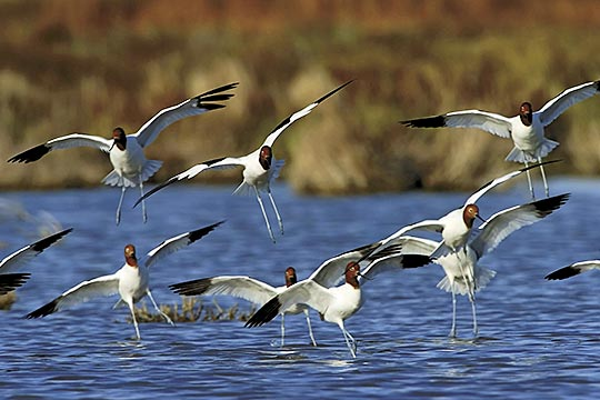 Coorong birds - Red Necked Avocet