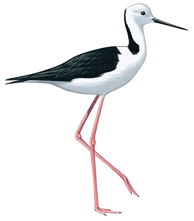 Black Winged Stilt 36cm
