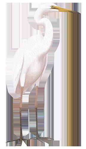 Great Egret 88cm