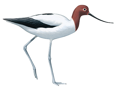 Red Necked Avocet 44cm