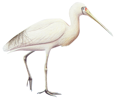 Yellow Billed Spoonbill 83cm