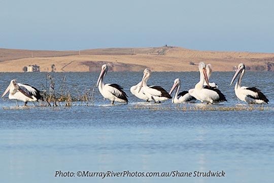 Pelicans Coorong birds